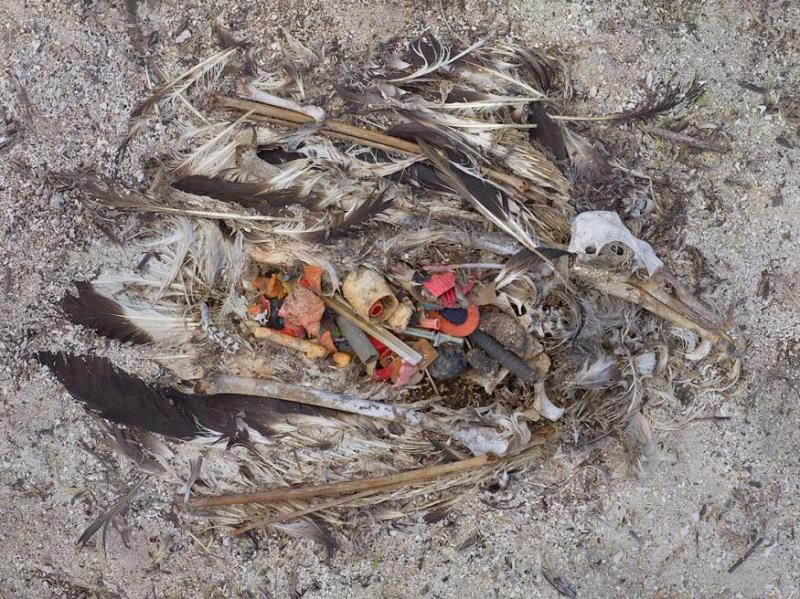 Pacific Albatross full of trash-Midway Island 2009